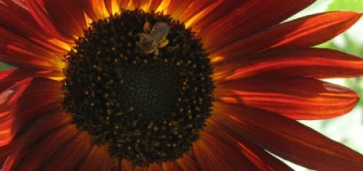 cropped-cropped-sunflower_fullsize
